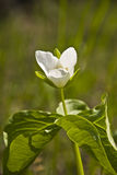Trillium kamchatkan (Trillium camschatcense) Royalty Free Stock Images