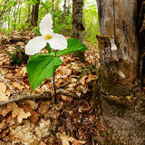 Trillium life & death Royalty Free Stock Photos