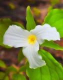 Trillium. A mature trillium flower in forest Stock Image