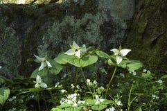 Trillium, mola adiantada, grande Mtns fumarento Nat. Parque Fotografia de Stock Royalty Free
