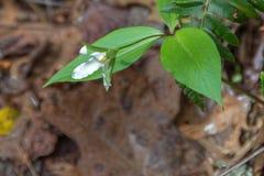Trillium persistente, Tallulah Gorge State Park Fotos de Stock Royalty Free