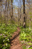 Trillium plants line the Appalachian trail Royalty Free Stock Photography