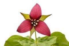 Trillium rouge photographie stock