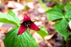 Trillium roxo Fotografia de Stock