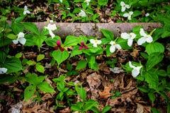 Trillium salvaje en el bosque Imagen de archivo libre de regalías