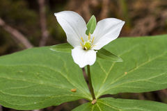 Trillium Western Wake Robin Stock Images
