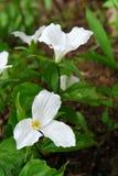 trillium white Zdjęcie Stock