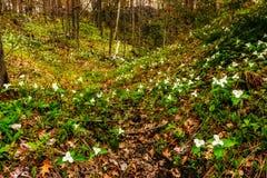 Trilliums в долине - широко Стоковые Фотографии RF