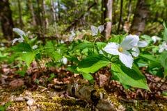 Trilliums brancos no assoalho da floresta (baixo ângulo) Imagens de Stock