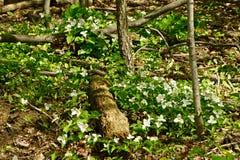 Trilliums in het hout Royalty-vrije Stock Afbeeldingen