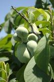 triloba de papaye d'asimina Images stock
