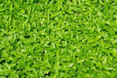 Trilobata Sphagneticola με το πράσινο φύλλο Στοκ φωτογραφία με δικαίωμα ελεύθερης χρήσης