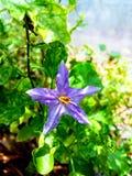 Trilobatum Solanum Стоковые Изображения RF