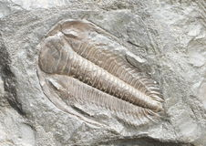 Trilobit Stockfoto