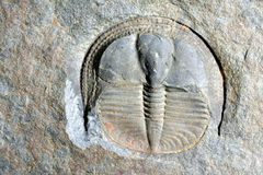 Trilobite Fotografía de archivo libre de regalías