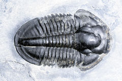 Trilobite Royalty Free Stock Image