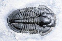 Trilobite royalty free stock image