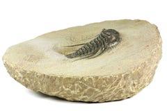 trilobite stock afbeelding