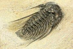 trilobite photos libres de droits