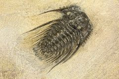 trilobite photo stock