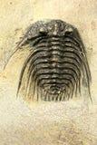 trilobite photographie stock libre de droits