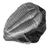 Trilobite Stock Photos