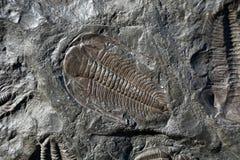 trilobite Royalty-vrije Stock Afbeelding