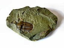 Trilobite Stock Image