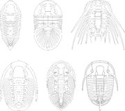 Trilobite Royalty Free Stock Images
