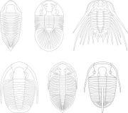 Trilobite. Arthropod mollusk geology paleozoic Royalty Free Stock Images