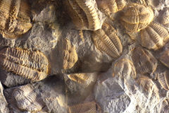 Trilobite background Stock Photo