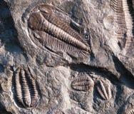 Trilobite de Fossiled de République Tchèque Images stock