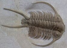 trilobite fossil Royalty Free Stock Photos