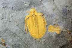Trilobite fossil Stock Images