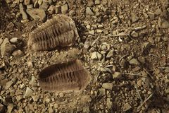 Trilobite fossil find and print on ground in cambrian rocky sediments. Trilobite fossil found on ground in cambrian rocky sediments royalty free stock images
