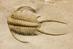 Trilobite fossil med taggar Royaltyfria Foton