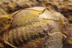 Trilobite fossile antica in un pezzo di calcare Immagine Stock Libera da Diritti