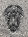Trilobite fossilizado. foto de stock