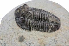 Trilobite fossill Stock Photo