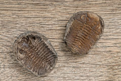 Trilobite fossils. On wooden table royalty free stock photography