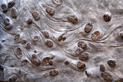 Trilobite group • Lancastria placenta Stock Image