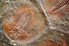 Trilobite Royalty Free Stock Photography
