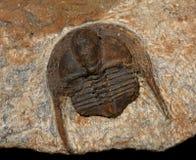 Trilobites Image libre de droits