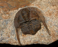 Trilobites Royalty Free Stock Image