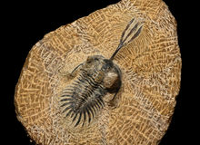 Trilobites Photo stock