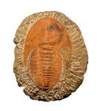 Trilobites Lizenzfreie Stockfotografie