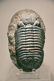 Trilobites. With hard light, fossil Stock Image