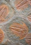 Trilobites Stock Image