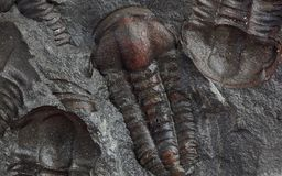 Trilobites Stock Photography