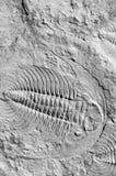 Trilobites fossiles Image libre de droits